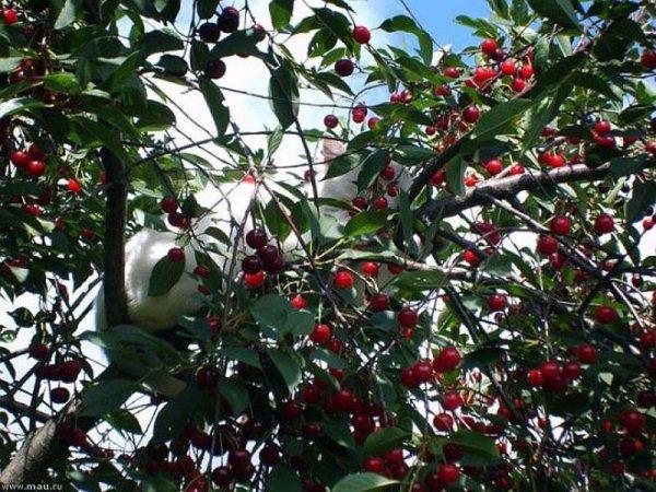 Почему-опадает-завязь-вишни.