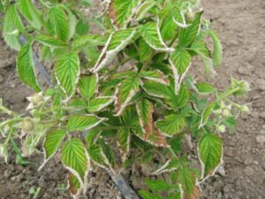 Почему у малины скручиваются листья: меры борьбы