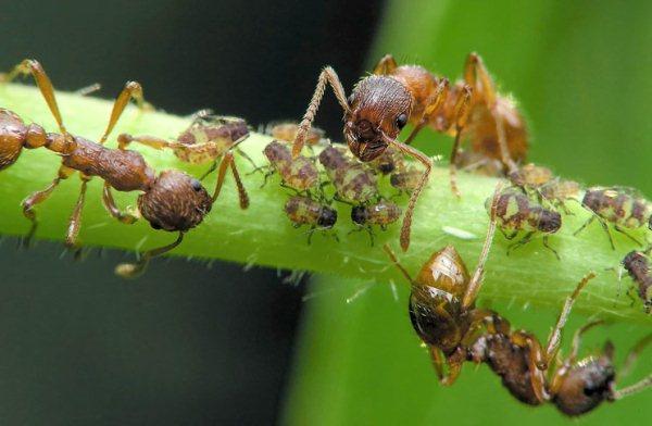 Появились-муравьи-на-помидорах-в-теплице.