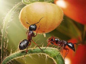 Появились муравьи на помидорах в теплице