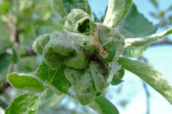 Эффективные-меры-борьбы-с-гусеницами-на-яблоне