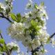 Правила подкормки груши весной и летом