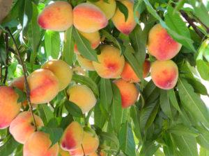 Как посадить и вырастить персик