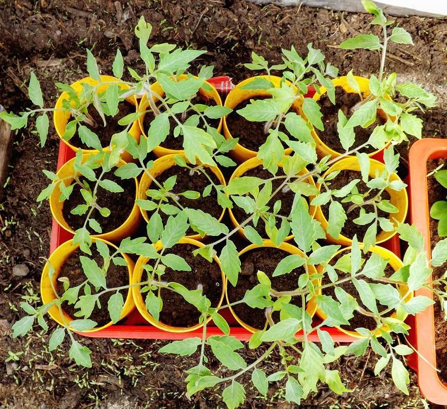 Пикировка и подготовка к высадке в грунт