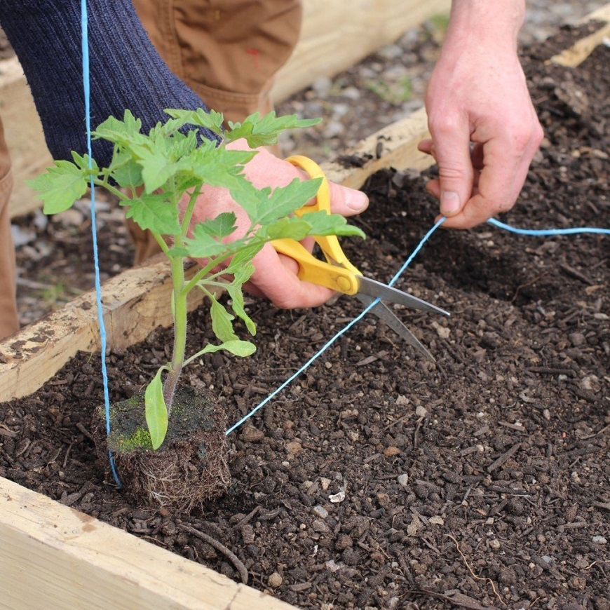 Подвязывание томатов