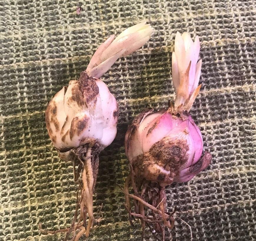 Предпосевная подготовка луковиц
