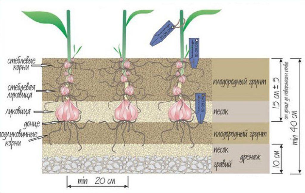 Схема посадки лилии в грунт