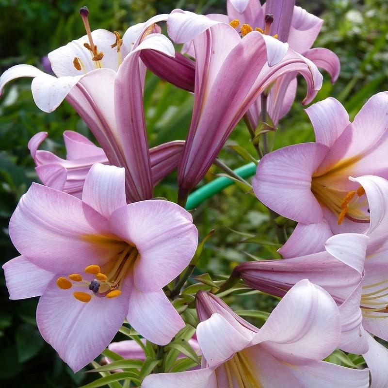 Посадка лилий в открытый грунт и уход (с фото и видео)