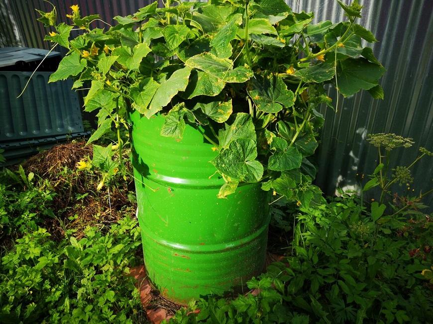Выращивание тыквы в бочках