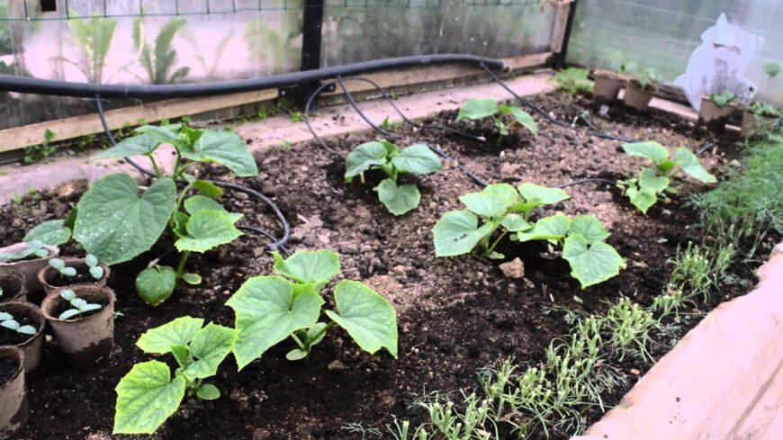Выращивание тыквы без рассады