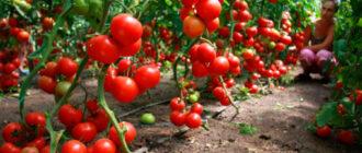 Выращивание отличного урожая помидоров в теплице