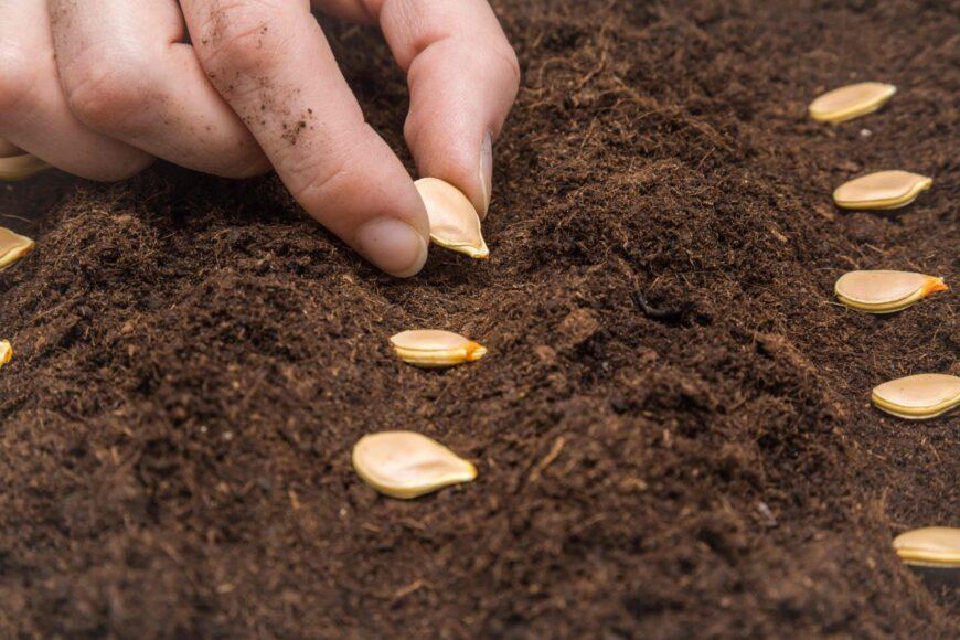 Высевание семян тыквы
